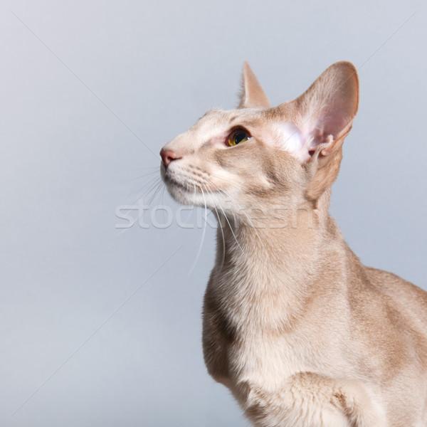 スタジオ 肖像 ラベンダー シャム猫 孤立した グレー ストックフォト © ivonnewierink