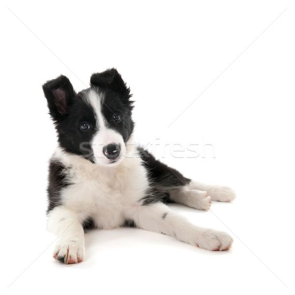 Border collie szczeniak studio odizolowany biały psa Zdjęcia stock © ivonnewierink