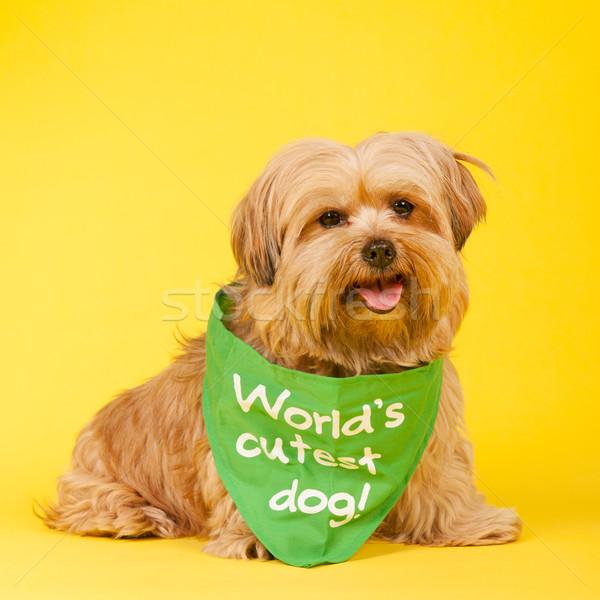 World's cutest dog Stock photo © ivonnewierink