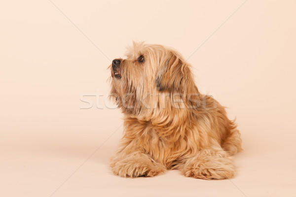 Little long haired dog on beige background Stock photo © ivonnewierink