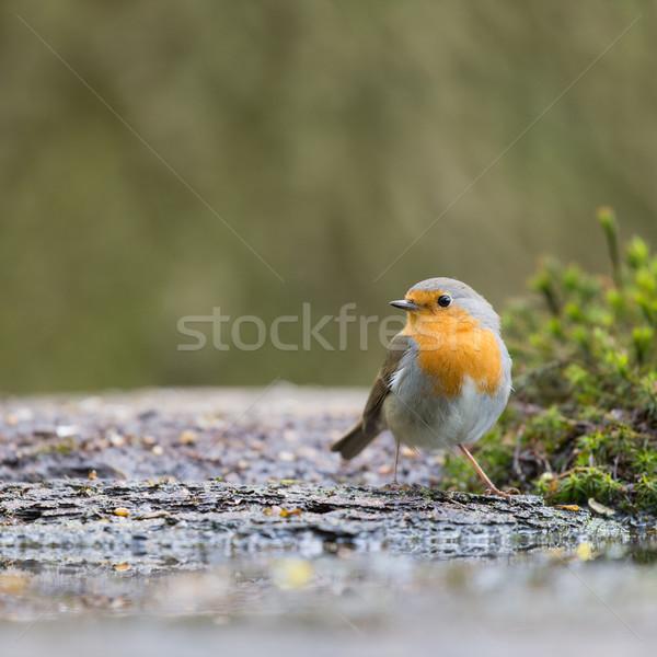 Stok fotoğraf: Avrupa · ağaç · kuş · orman · su