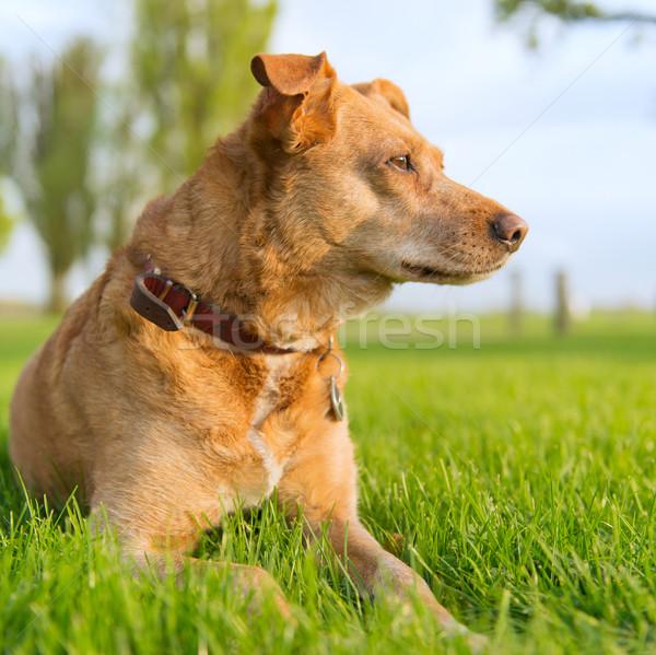 Vecchio cane outdoor sole Foto d'archivio © ivonnewierink