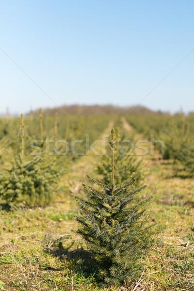 Faiskola kert karácsony fák sorok Stock fotó © ivonnewierink