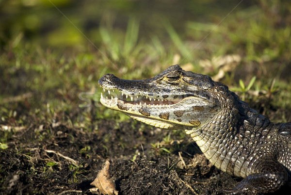 crocodile with open mouth Stock photo © ivonnewierink