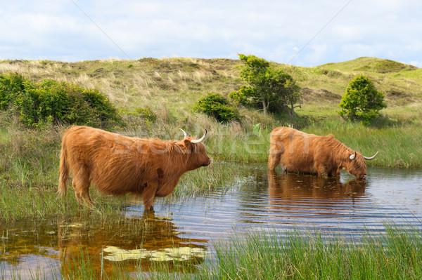 Foto stock: Gado · água · potável · holandês · ilha · água · paisagem