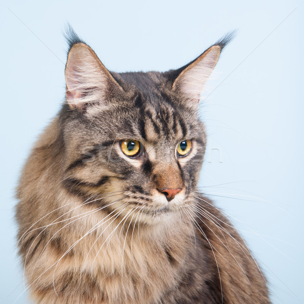 Maine pisică albastru portret fundal Imagine de stoc © ivonnewierink