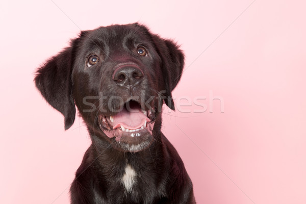 Black cross breed dog Stock photo © ivonnewierink