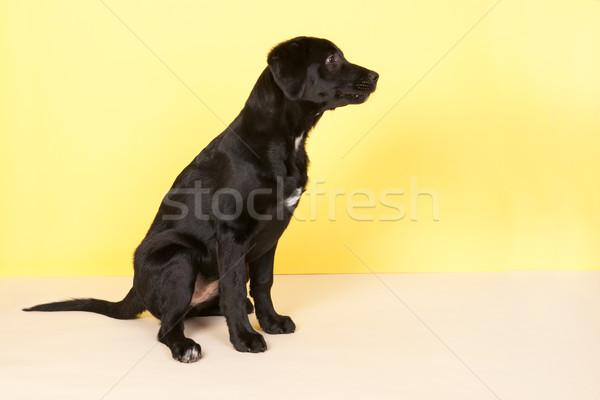Black dog on yellow Stock photo © ivonnewierink