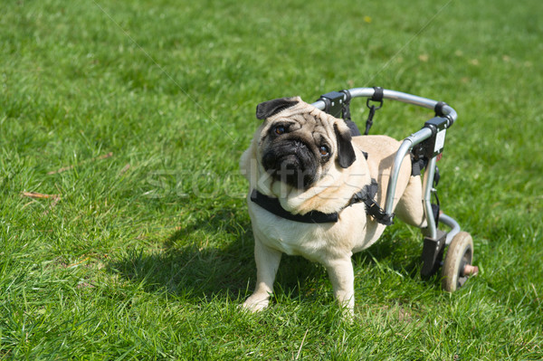 Handicapped dog  Stock photo © ivonnewierink