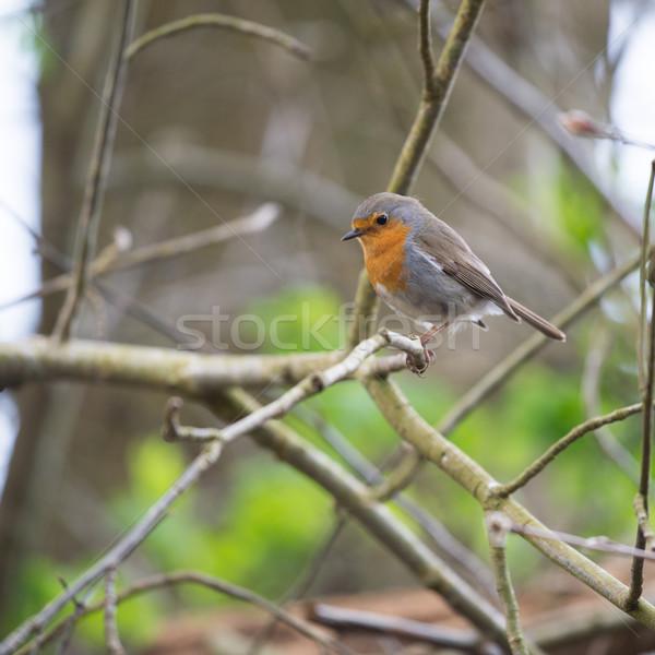 Stok fotoğraf: Avrupa · ağaç · kuş · orman