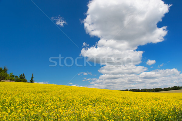 Oil seed rape field against blue sky Stock photo © ivonnewierink