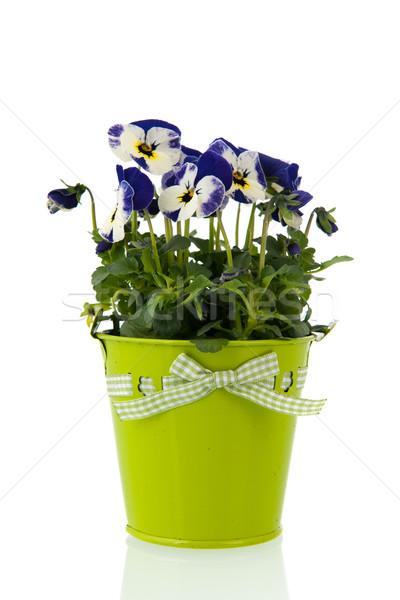 Mavi bitki saksı yalıtılmış beyaz bitkiler Stok fotoğraf © ivonnewierink