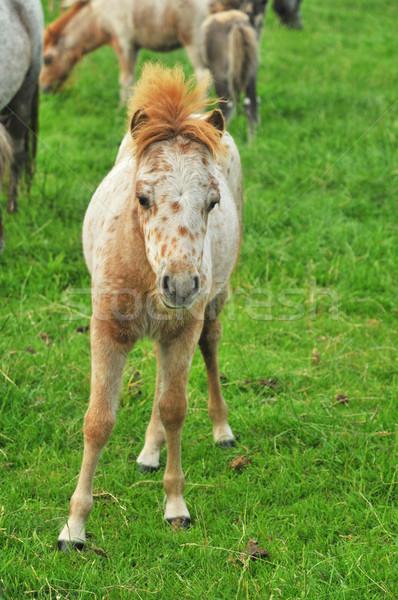 foal from American Mini horses Stock photo © ivonnewierink