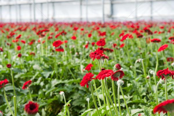 красный теплица многие Сток-фото © ivonnewierink