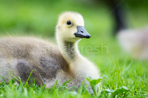 Young goose Stock photo © ivonnewierink