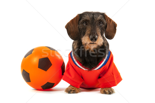 Wire haired dachshund as sports fan Stock photo © ivonnewierink