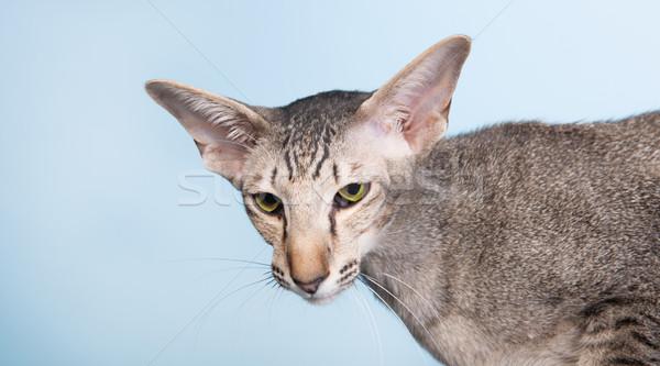 Stúdió portré fóka sziámi macska izolált kék Stock fotó © ivonnewierink