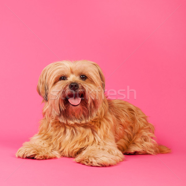 Little long haired dog on pink background Stock photo © ivonnewierink