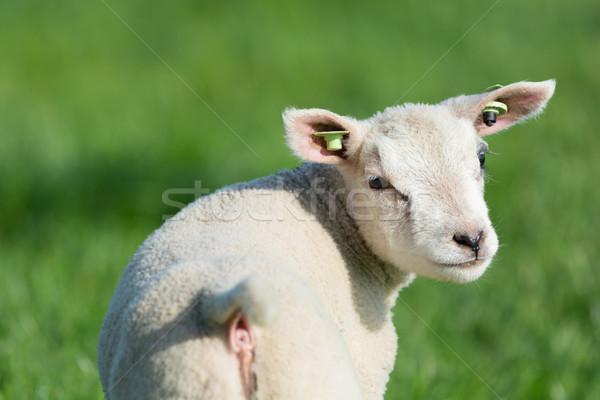 Lamb in spring Stock photo © ivonnewierink
