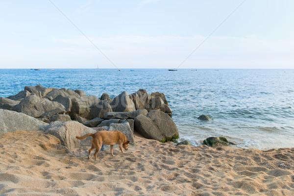 Spanish dog at the beach Stock photo © ivonnewierink