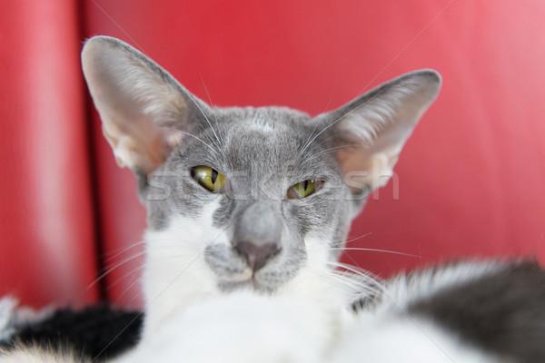 Moderne siamese kat grijs zuiver ras Stockfoto © ivonnewierink