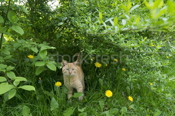 Vermelho gato arbusto caminhada fora Foto stock © ivonnewierink