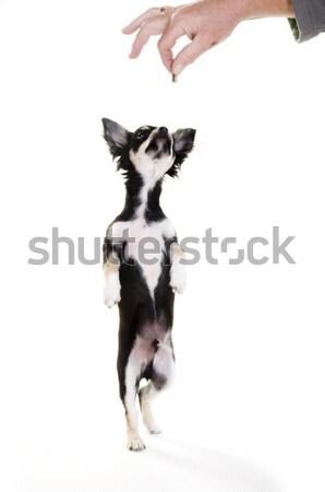 犬の訓練 訓練 子犬 立って ほ乳類 ストックフォト © ivonnewierink