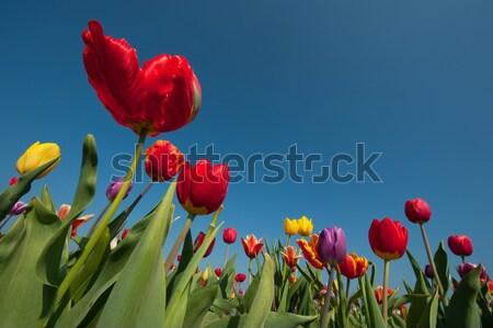 Renkli hollanda lale çiçek alanları açık Stok fotoğraf © ivonnewierink