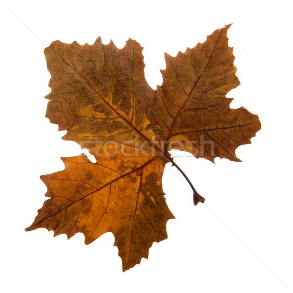 秋 カエデの葉 孤立した 白 自然 背景 ストックフォト © ivonnewierink