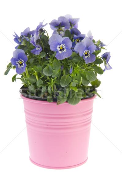 Kék növény rózsaszín virág edény kert nyár Stock fotó © ivonnewierink