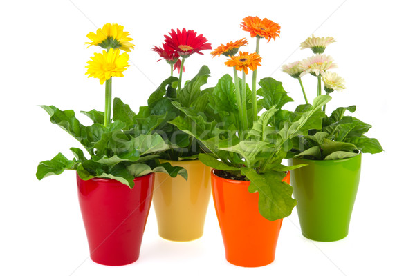 Gerber plants Stock photo © ivonnewierink