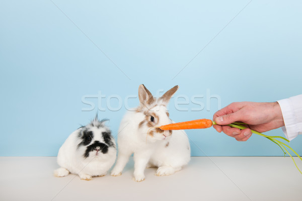 Vet lures rabbits with carrot Stock photo © ivonnewierink