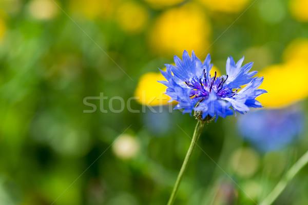 Niebieski chaber charakter Zdjęcia stock © ivonnewierink