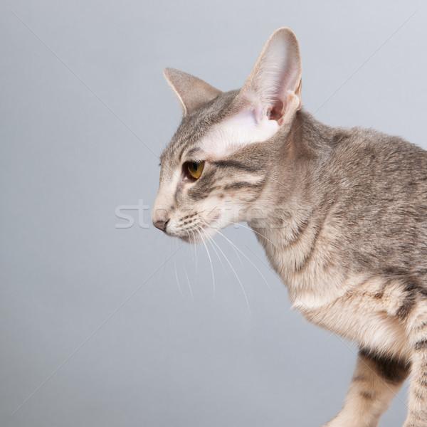 Stúdió portré levendula sziámi macska izolált szürke Stock fotó © ivonnewierink