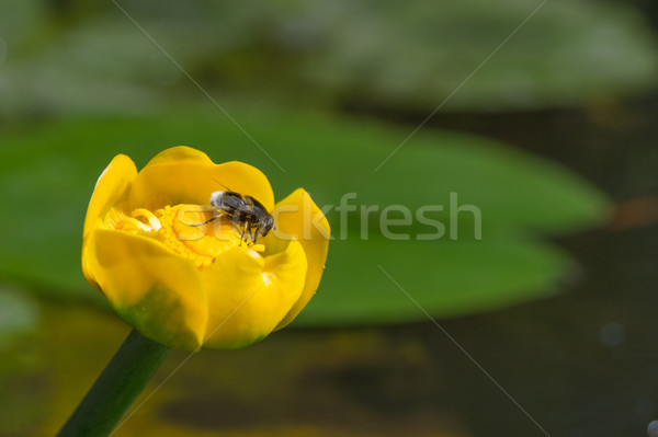 Yellow water-lily with bee Stock photo © ivonnewierink