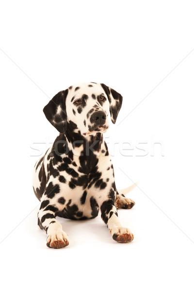 Dálmata cão piso Foto stock © ivonnewierink