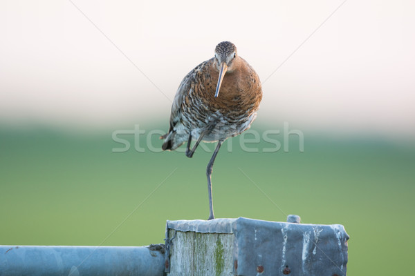 Black-tailed Godwit on pole Stock photo © ivonnewierink
