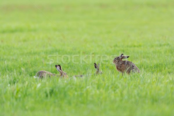Hares in field Stock photo © ivonnewierink