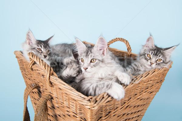 Maine kiscicák kosár három öreg klasszikus Stock fotó © ivonnewierink