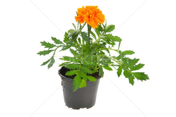 Marigold plant Stock photo © ivonnewierink