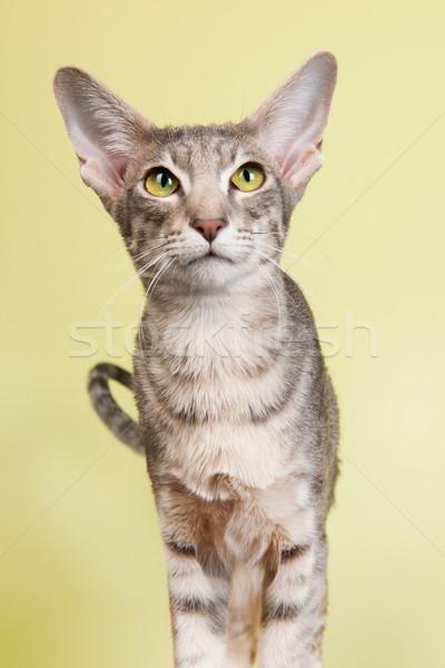 スタジオ 肖像 シール シャム猫 孤立した 緑 ストックフォト © ivonnewierink