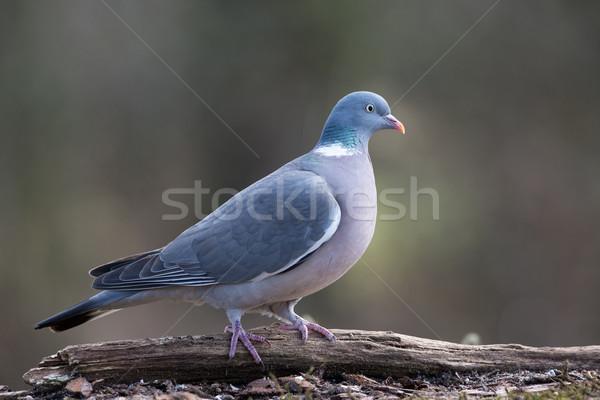 Common Wood Pigeon Stock photo © ivonnewierink