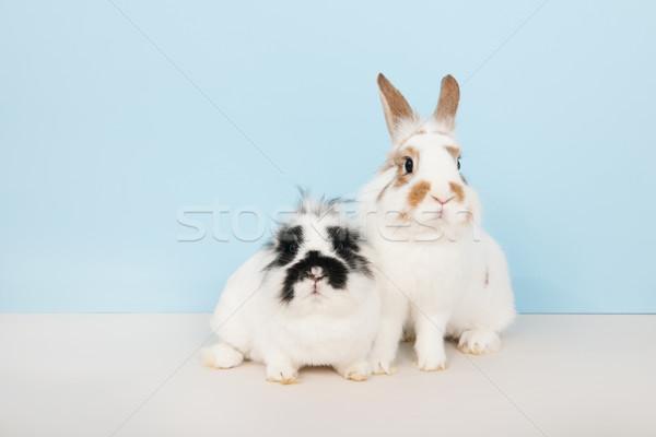 Iki tavşanlar mavi beyaz çift siyah Stok fotoğraf © ivonnewierink