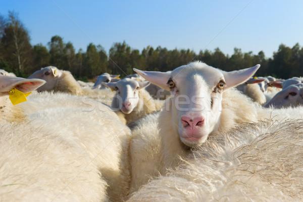 Sheep herd Stock photo © ivonnewierink
