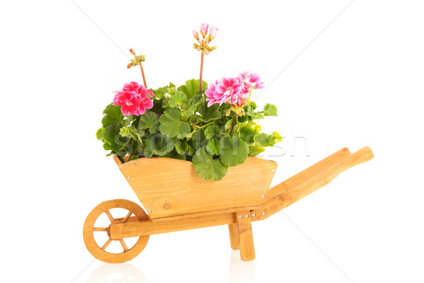 Pelargoniums in wheel barrow Stock photo © ivonnewierink