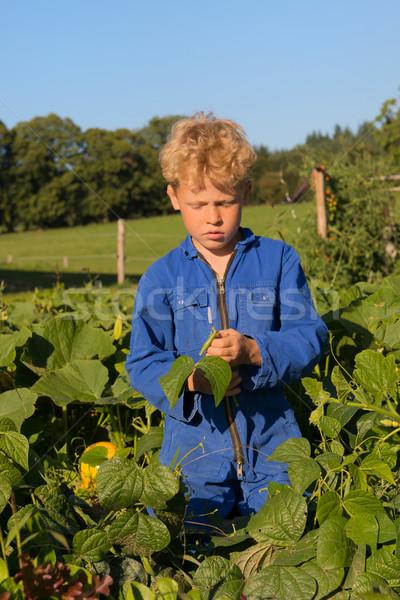 Farm Boy harvesting in vegetable garden Stock photo © ivonnewierink