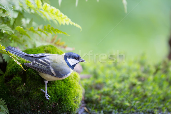 Teta musgo floresta Foto stock © ivonnewierink