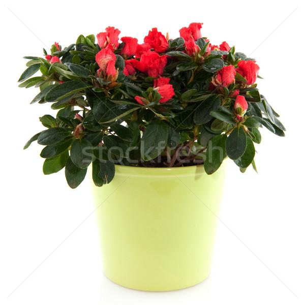 Rood azalea plant groene bloempot geïsoleerd Stockfoto © ivonnewierink