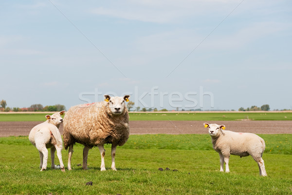 Sheep with lambs Stock photo © ivonnewierink