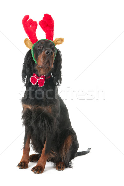 Dog dressed as reindeer for Christmas Stock photo © ivonnewierink